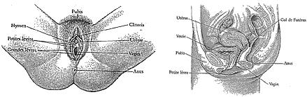 Information sur la for Interieur du vagin